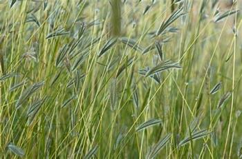 Berwick grass can lead to surgery for pets November 2018